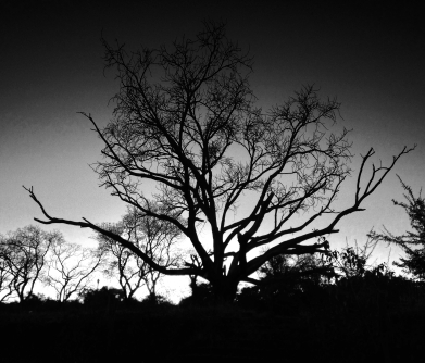 Dawn breaks behind a dying tree that has probably stood here longer than anyone in Bulawayo today has been alive.